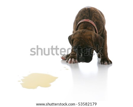Sad Brindle Boxer Puppy Potty Accident Spot - stock photo