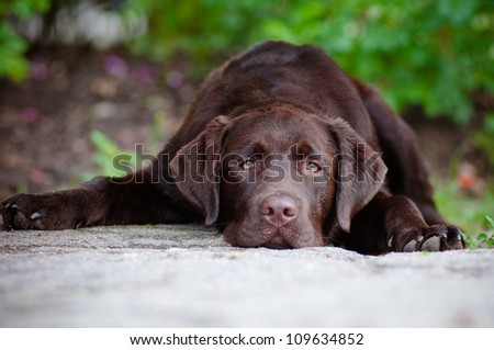 sad chocolate labrador retriever puppy - stock photo