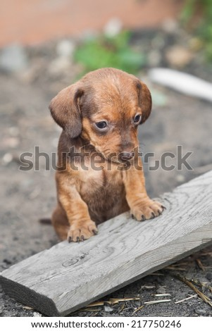 Sad dachshund puppy - stock photo