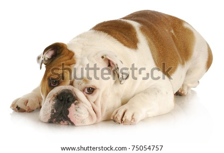 sad dog - english bulldog laying down with sad expression on white background - stock photo