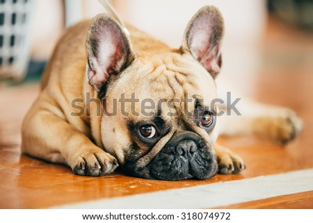 Sad Dog French Bulldog sitting on floor indoor. The French Bulldog is a small breed of domestic dog - stock photo