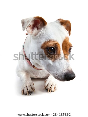 sad dog, Jack Russell terrier with a collar lying