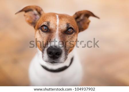 sad dog looking helpless to the camera - stock photo