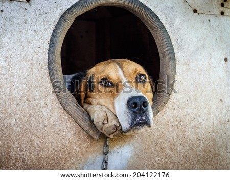 Sad dog on a chain watching out of his kennel. - stock photo