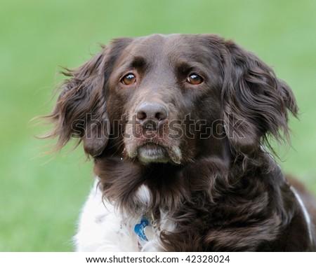 Sad dog (Small Muensterlander) - stock photo