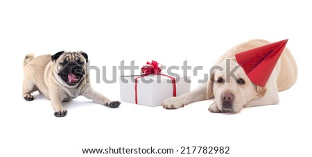 sad dogs (golden retriever and pug dog) with gift box isolated on white background - stock photo