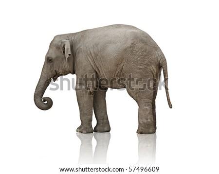 sad elephant calf over white background photo - stock photo