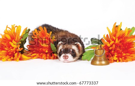 Sad ferret lie with orange flowers and gold bell - stock photo