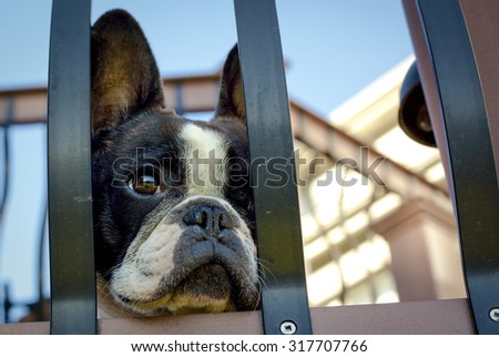 Sad French bulldog looking through bars of patio in melancholy way
