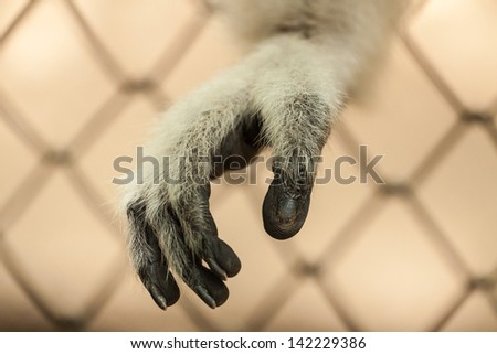 Sad gibbon behind the Cage Gibbon hands