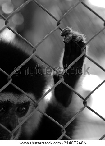 Sad gibbon behind the Cage Gibbon hands , black and white , B&W - stock photo