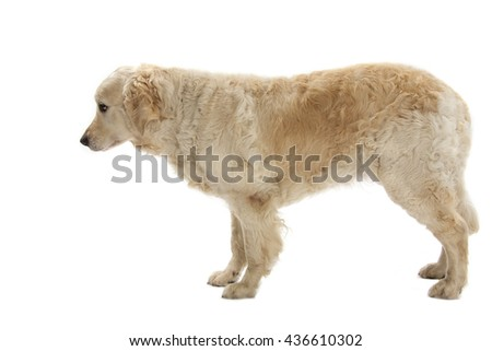 Sad Golden Retriever isolated over white background - stock photo