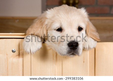 Sad golden retriever puppy gets out of the box (isolated on white) - stock photo