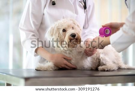 Sad little Maltese dog with broken paw in vet infirmary - stock photo