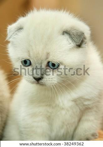 sad little white lop-eared cat - stock photo