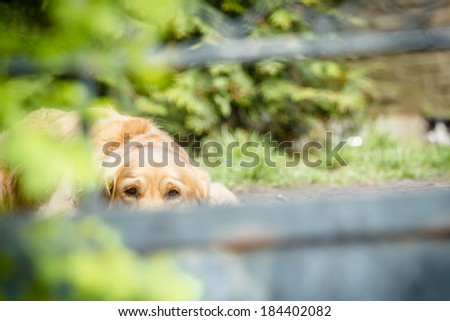 Sad lonely golden retriever pet dog being locked out behind the bars in the garden - stock photo