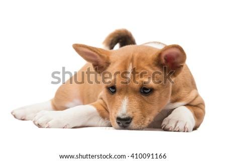 Sad looking basenji puppy laying on white background - stock photo