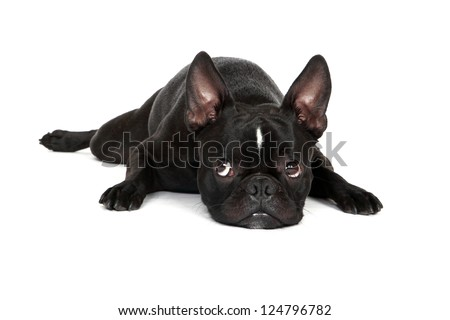 Sad looking Froston (Frenchie x Boston Terrier) resting his head on the floor.  Isolated on a white background. - stock photo