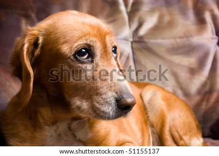 sad looking golden dog laying on the couch - stock photo