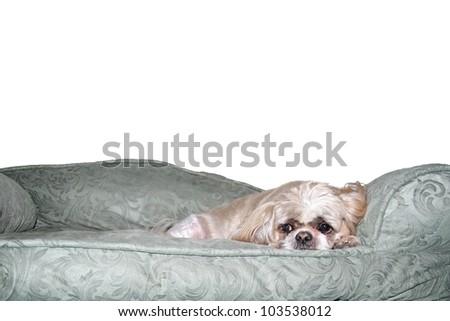 Sad looking Shih Tzu on his dog bed - stock photo