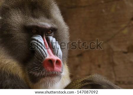 Sad mandrill - stock photo