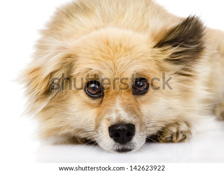 sad mixed breed dog lying in front. isolated on white background