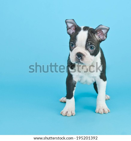 Sad or curious Boston Terrier puppy standing on a blue background. - stock photo