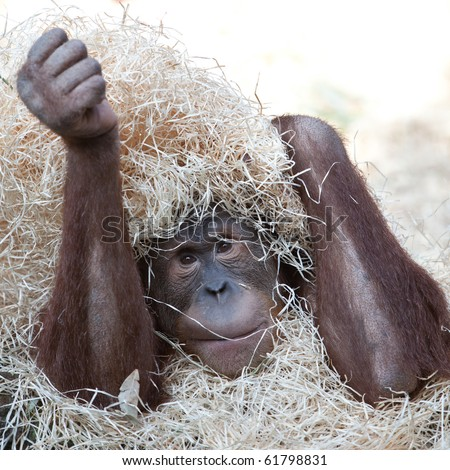 sad orangutan hiding under hay - stock photo