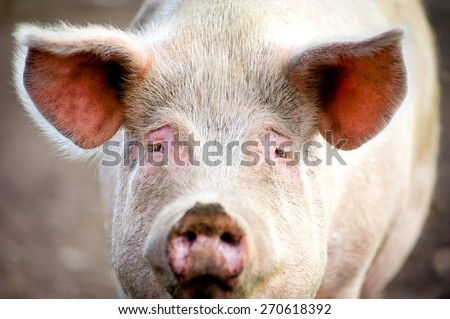 sad pig face closeup - stock photo