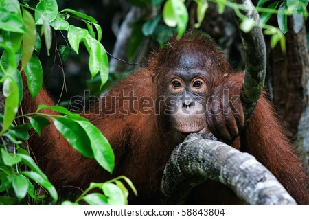 Sad./ Pongo pygmaeus wurmbii - southwest populations. The orangutans are the only exclusively Asian living genus of great ape. - stock photo