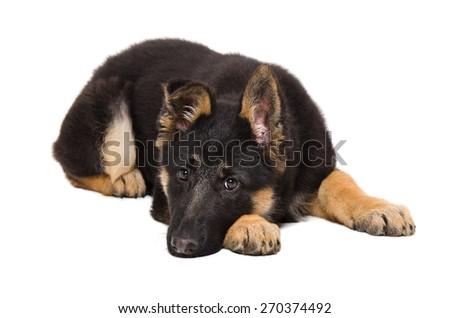 Sad puppy breed German Shepherd lying isolated on white background - stock photo
