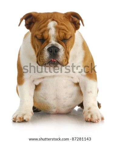 sad puppy - english bulldog sitting with sad expression with reflection on white background - stock photo