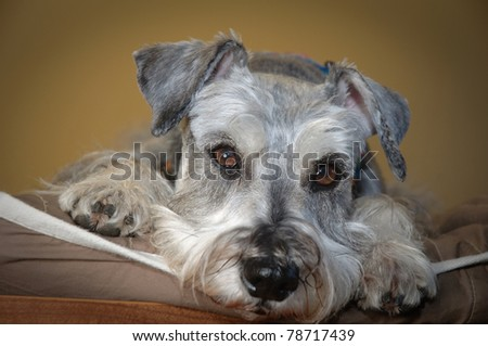 Sad small dog indoors laying down on a pillow