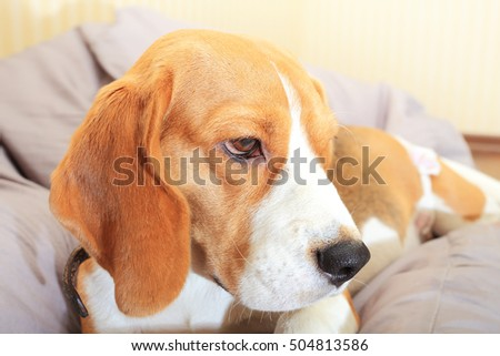 Sad unhappy beagle dog alone at home