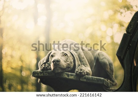 sad weimaraner dog puppy trick in autumn nature - stock photo
