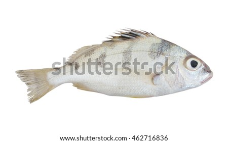 Saddle grunt fish isolated on white background, Pomadasys maculatus