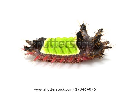 Saddleback moth caterpillar (Acharia sp.) - stock photo