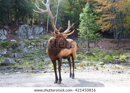 """Safari Park """"Omega"""" close to Ottawa. Canadian deer standing on the track for visitors - stock photo"""
