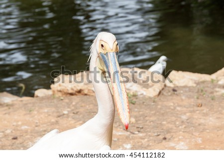 Safari visit on weekend. Portrait of the White pelican. - stock photo