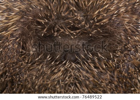 Safe position of a hedgehog in a critical situation - stock photo