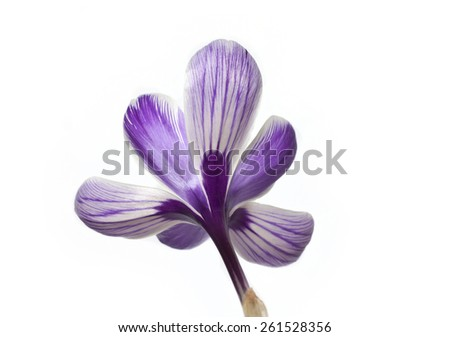 saffron flower isolated on white, Saffron flower - stock photo