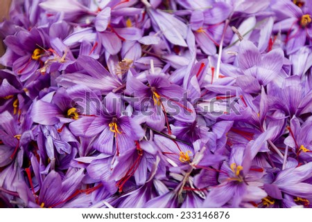 saffron flowers - stock photo
