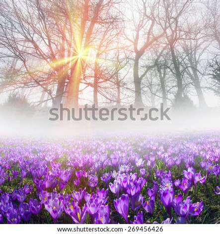 Saffron Geyfelya first beautiful spring flowers alpine meadows, grow in the meadows on a background of beech forest, opening bells at sunrise in the Carpathian Mountains in Ukraine and in the Tatra  - stock photo