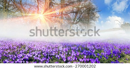 Saffron Geyfelya- first spring flowers that bloom right after melting of snow and ice in alpine fields Carpathians and the Tatra Mountains on the background of old beech and spruce forests of Ukraine. - stock photo