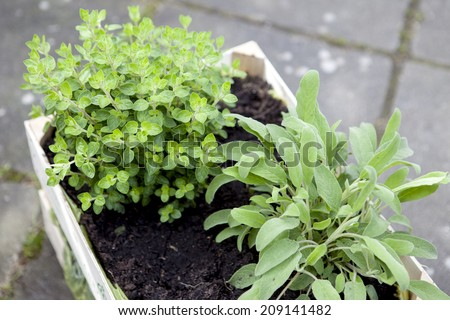 Sage and oregano growing in a plant box. Shallow focus - stock photo