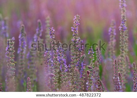 sage, salvia flowers in blooming sage field; grow sage, salvia