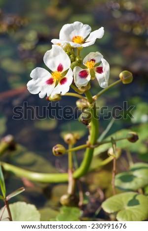 Sagittaria trifolia subsp - stock photo