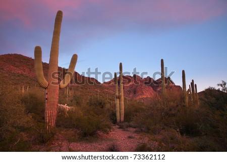 Saguaro Cacti on a hillside in Organ Pipe Cactus National Monument, Arizona. - stock photo
