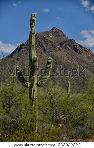 saguaro cactus against beautiful blue sky in southwest - stock photo