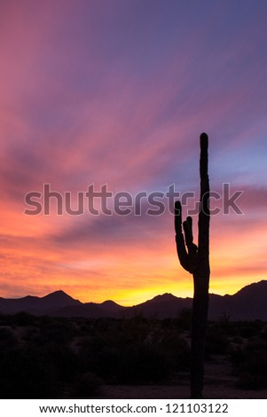 saguaro cactus at sunset in McDowell mountain park - stock photo